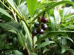 reife Frucht/August