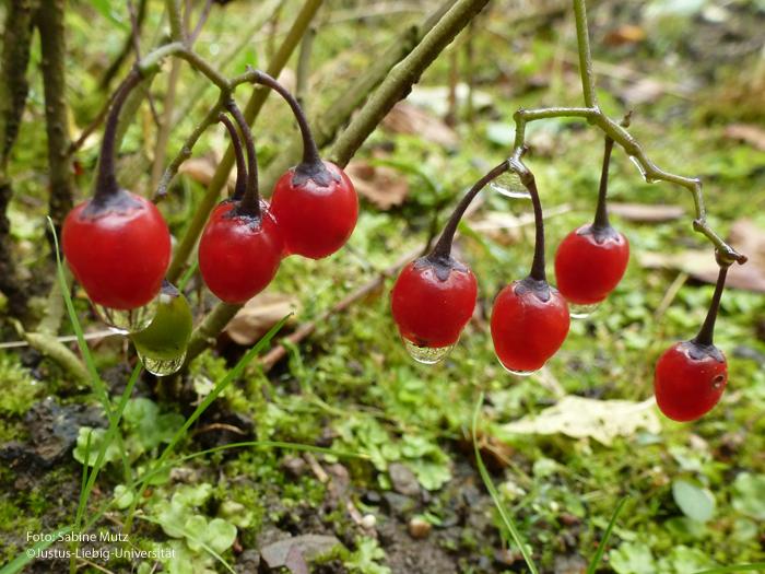 reifer Fruchtstand