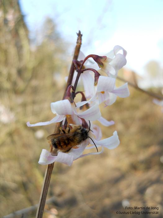 Blüte mit Bestäuber