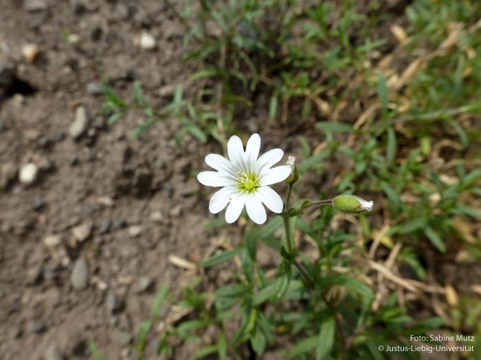 Blüte/Juni