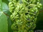 junge Frucht