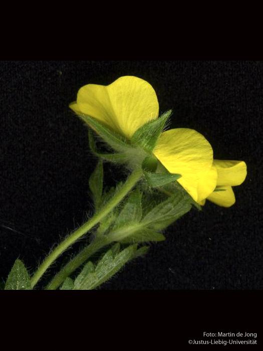 Seitenansicht/Blüte