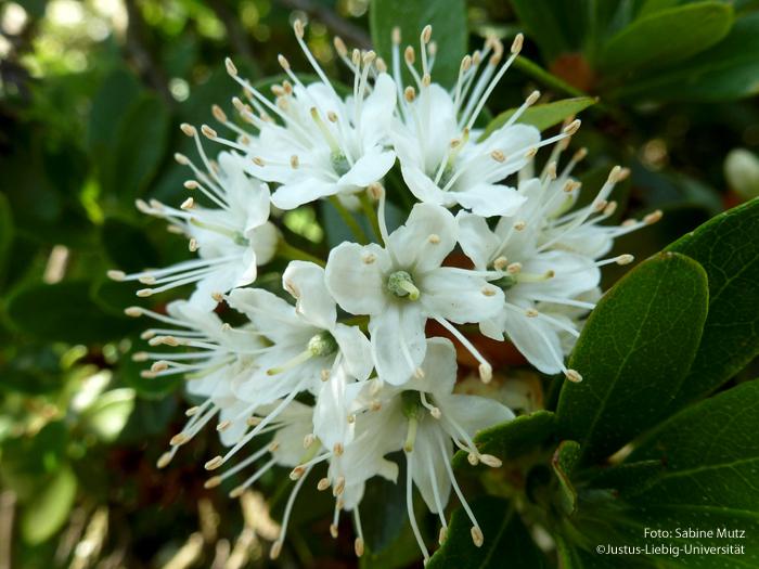 traubiger Blütenstand