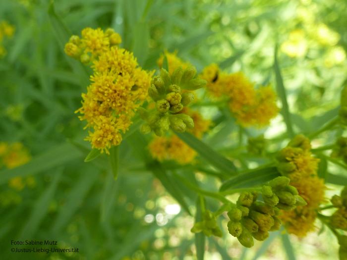 Blüten/Juli