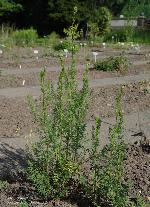 Thalictrum flavum ssp. flavum