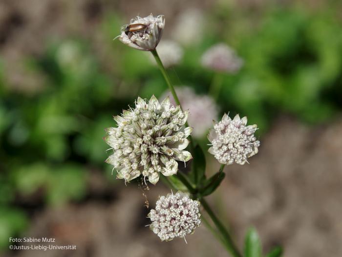 Blütenstand/Juni