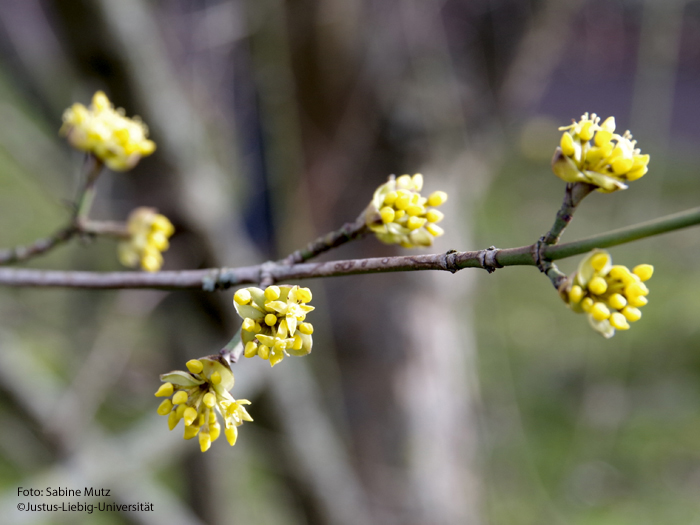 Blütenstand/Februar