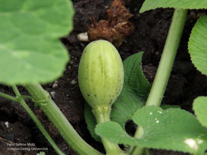 junge Frucht/August