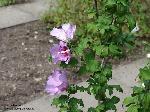 Blütenstand/August