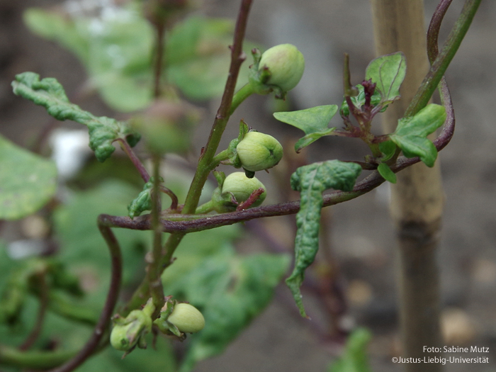 Fruchtstand/August