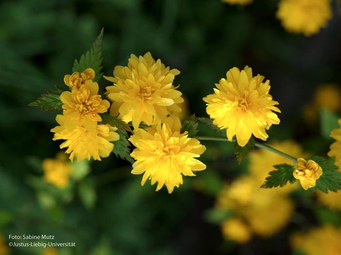 gefüllte Blüte/April