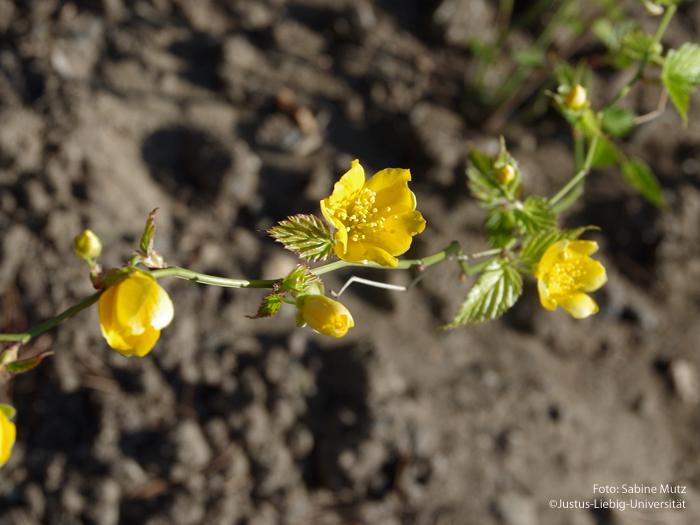 ungefüllte Blüte/April