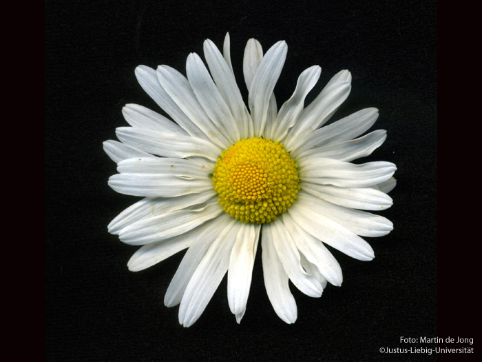 Blütenkopf/Mai