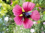 Blüte mit Bestäuber/August
