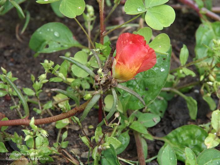 Seitenansicht Blüte