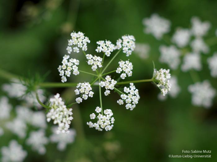 Blüte Aufsicht/Mai