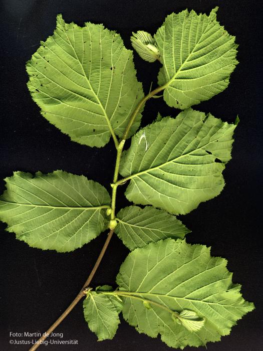 Blätter/Unterseite