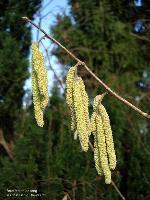 männliche Blüten