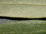 Blatt/Detail