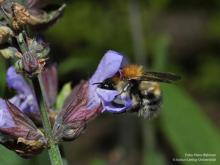 Blüte mit Bestäuber/Mai