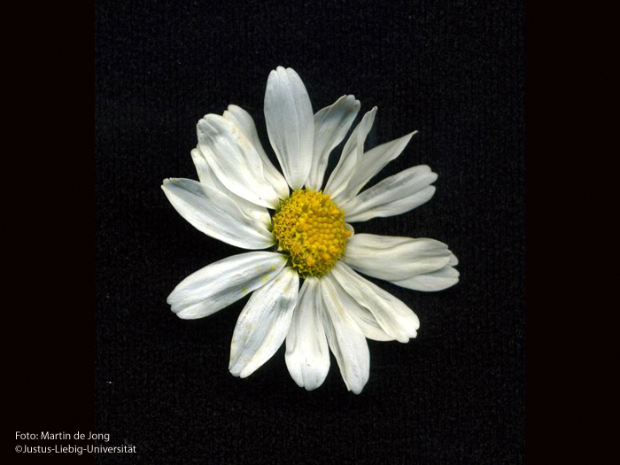 Blütenkörbchen