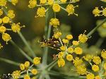 Ameise auf Blüte