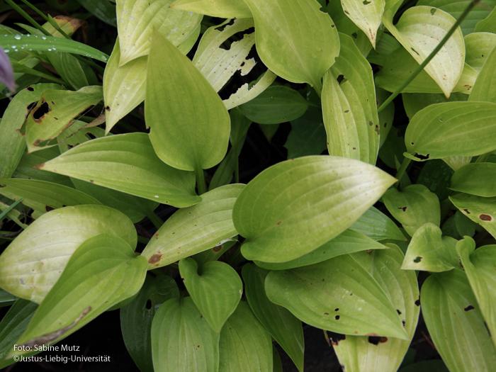 Blätter/August