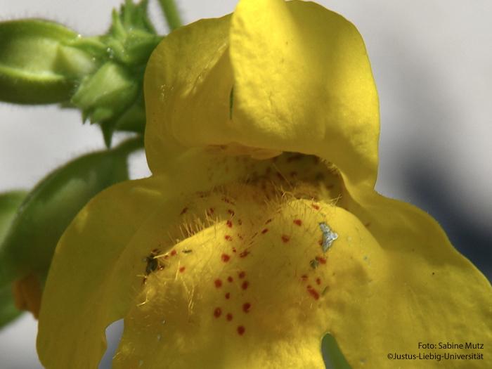 Blütenschlund/Juli