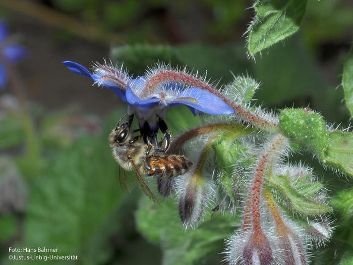 Blüte mit Honigbiene