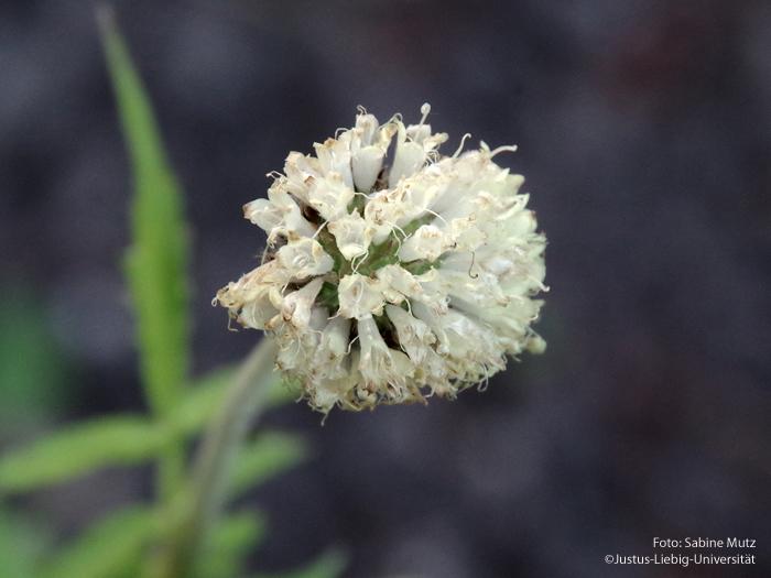 alter Blütenstand
