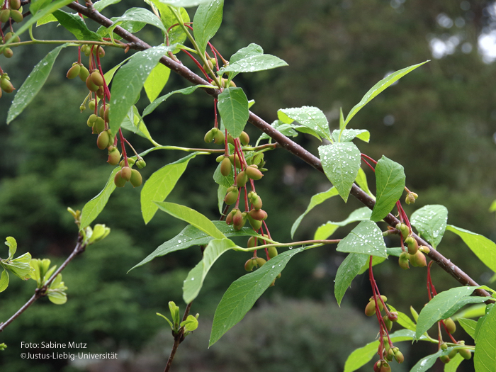 Fruchtstand/Mai