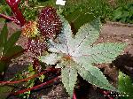 Blatt und Frucht/August