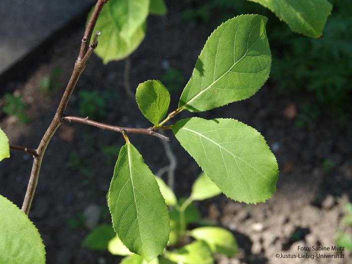 Blätter/Juli