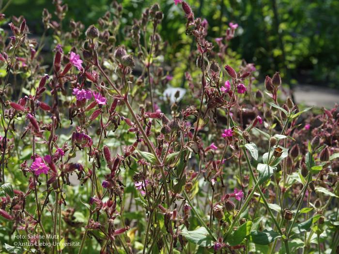 Blütenstände/Juli