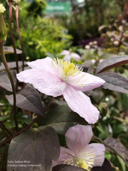 Blüte Seitenansicht
