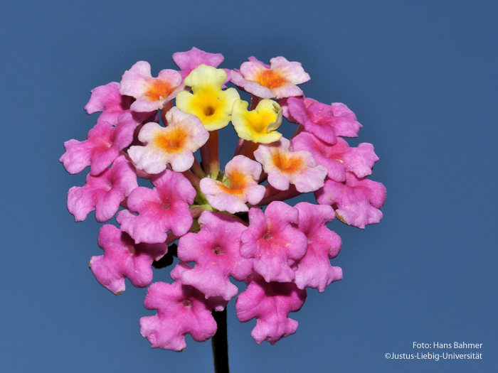 Blütenköpfchen