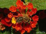 mit Honigbiene