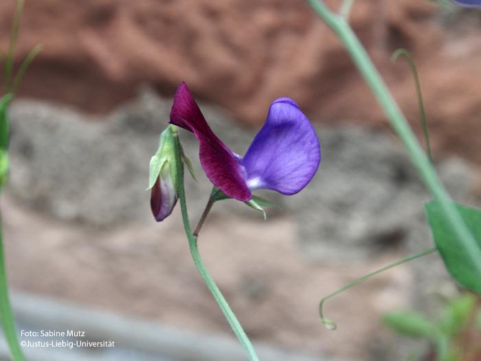 Blüte/Juli