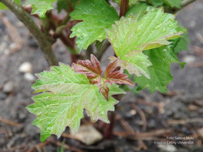 Blätter/Mai
