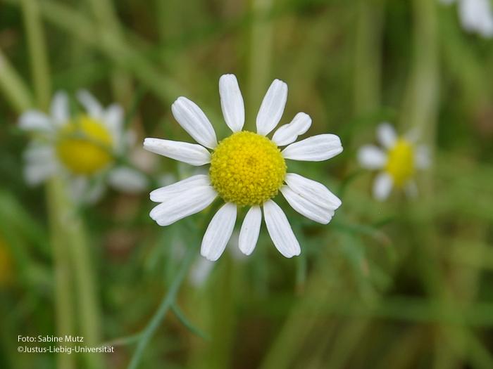 Blütenkörbchen/Juli