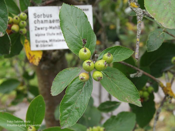 Frucht und Blätter/Juli