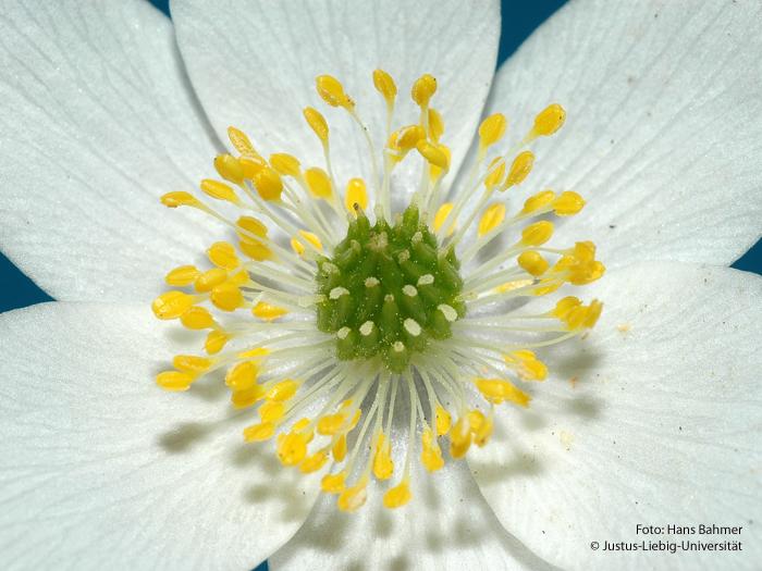 Detail Blüte