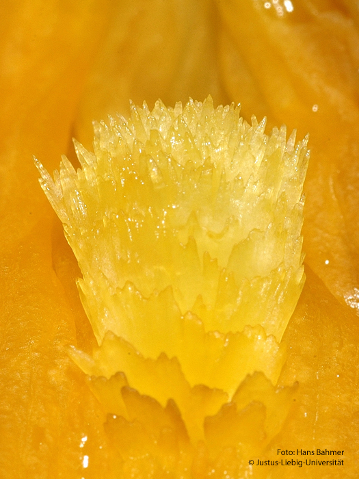 Blüte Detail
