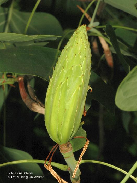 junger Fruchtstand