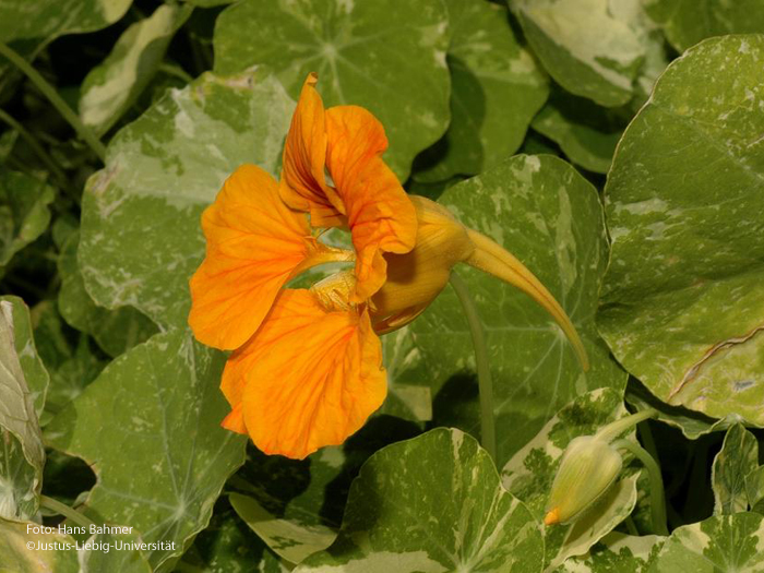 Gespornte Blüte