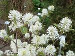 Blütenstand/Mai